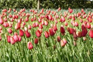 Keukenhof Gardens (Day 6)