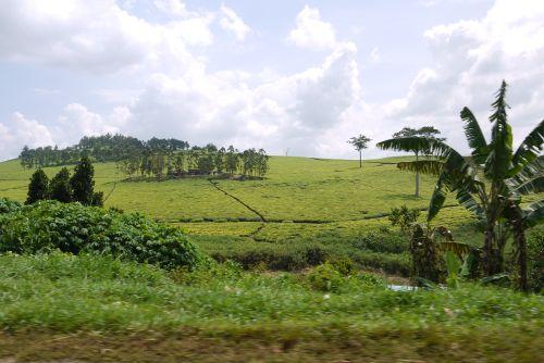 Jinja – Tea Plantation